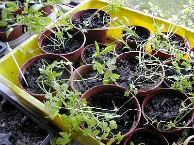 small wilted straggly chervil plants