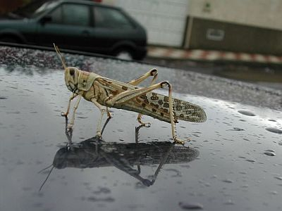 scary closeup of a locust sitting on the roof of a car looking like a monster in a film