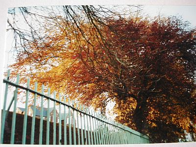trees in red and yellow in autumn