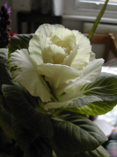 strange white flower on stalk looking like brussels sprout or cabbage