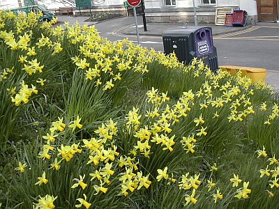 loads of tiny daffodils on side of hill