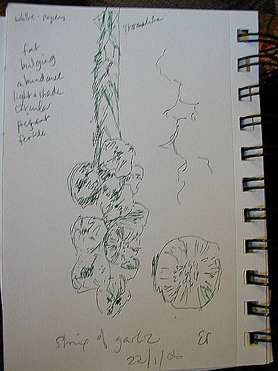 sketch of string of garlic