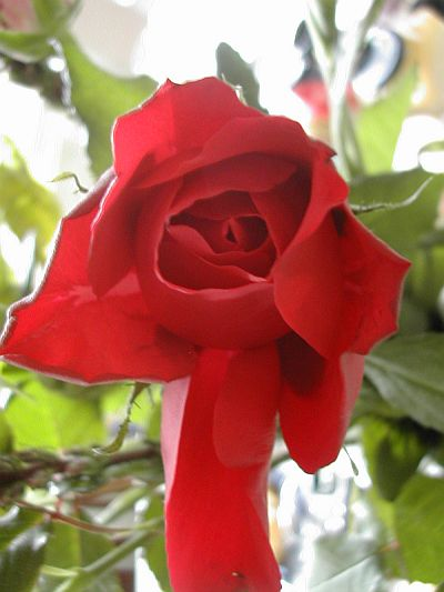 red rose bud just opening with one petal unfolding