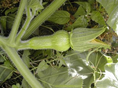 tiny courgette