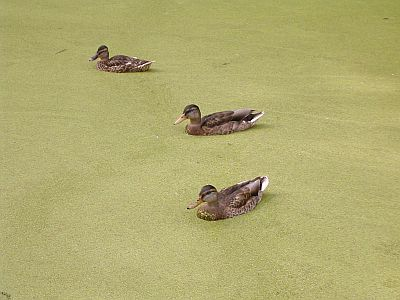 ducks swimming in canal green with algae