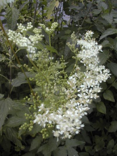 plant with white flowers - meadowsweet
