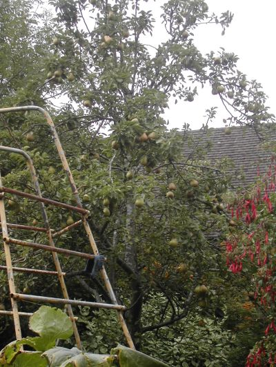 pear tree with rusty climbing frame in front of it