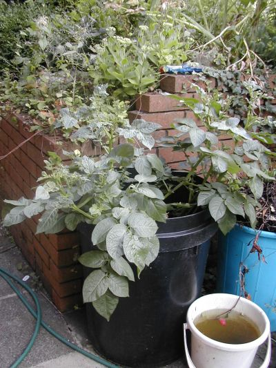 potato plant growing from dustbin used as compost bin