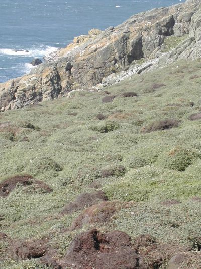 springy, bumpy vegetation on Skomer island