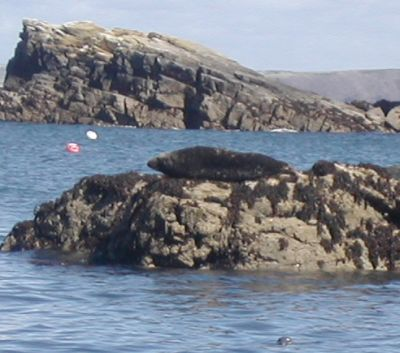 seal lying on top of rock on Skomer island