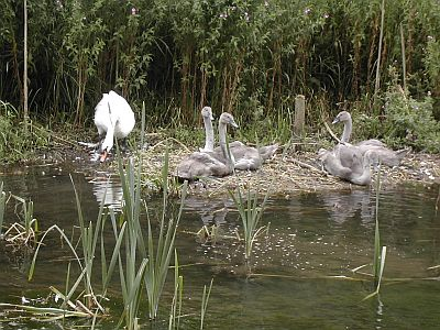 family of swans sitting on side of canal