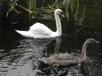 swan and cygnet swimming in canal