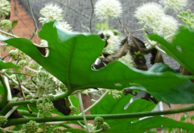 fatsia leaf and flowers